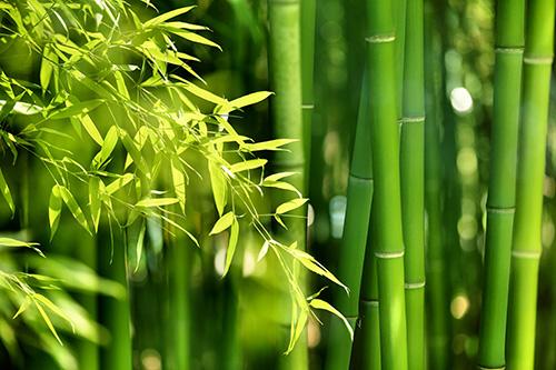 Riechers Pflanzenwelt | Abteilungen: Bambus