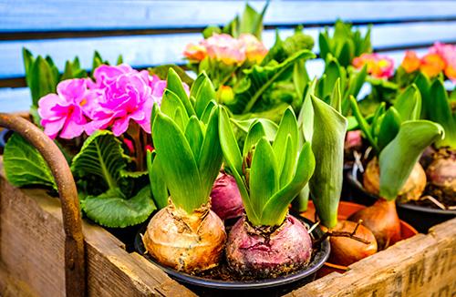 Riechers Pflanzenwelt | Abteilungen: Blumenzwiebeln