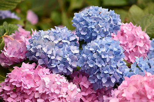 Riechers Pflanzenwelt | Abteilungen: Hortensien