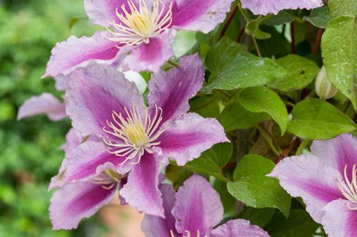 Riechers Pflanzenwelt | Abteilungen: Kletterpflanze