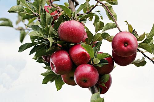 Riechers Pflanzenwelt | Abteilungen: Obstbäume