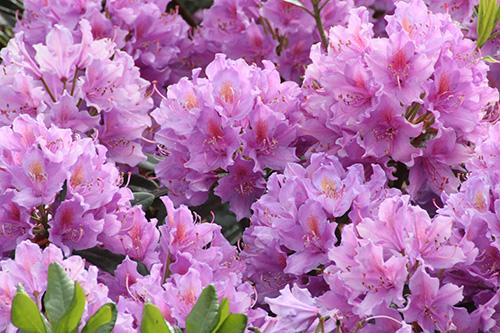 Riechers Pflanzenwelt | Abteilungen: Rhododendron