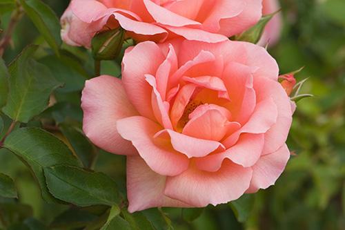 Riechers Pflanzenwelt | Abteilungen: Rosen