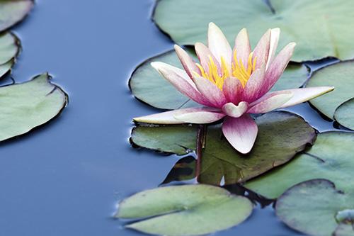 Riechers Pflanzenwelt | Abteilungen: Wasserpflanzen